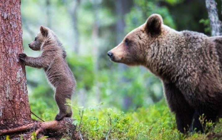 芬兰北部苏奥穆斯萨尔米森林中,熊妈妈正教它两只可爱的熊宝宝上树