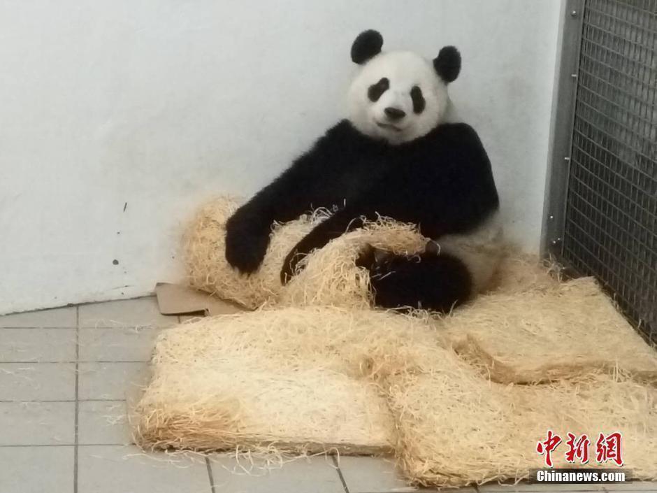 壁纸 大熊猫 动物 狗 狗狗 940_705