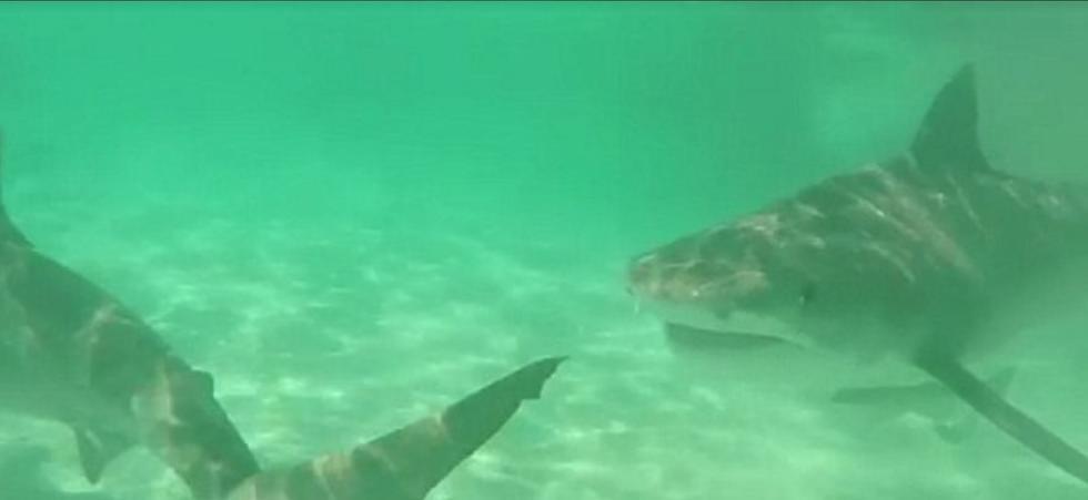 70头虎鲨围猎分食鲸鱼 画面残忍 - 双梅 - 张静华