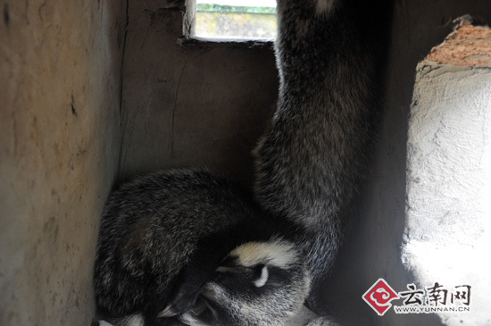 云南野生动物园拯救野生猪獾