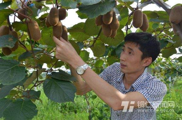 猕猴桃挂满枝头,农技人员忙着查看长势