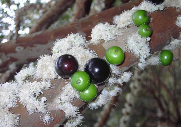 长在树干上的诡异水果